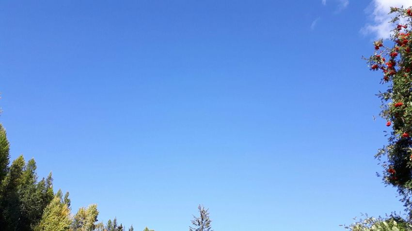 Tree Blue Sky Low Angle View Clear Sky Nature Outdoors No People Tranquility Treetop Beauty In Nature Day Copy Space Trees And Sky Trees And Nature Tree Canopy  Tree And Sky Treetops Tree Border Kimberleybc British Columbia Canada Open Air Clear Sky Berries