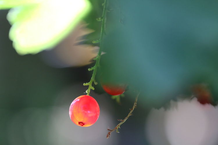Close-Up Of Fresh Red Currant Growing Outdoors