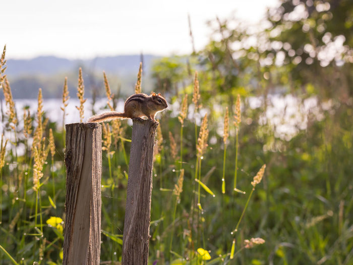 Close-up of mushroom growing on wooden post in field
