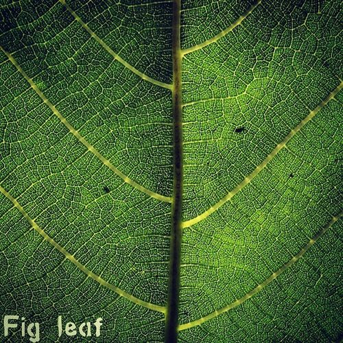 Details of a fig leaf in my grandfathers back yard. #igerslouisiana #leaf #fig Photooftheday Igerslouisiana Fig Leafpattern GCS Jj_forum_0392 Igers IGDaily Jj  Instagood Igscout Instaaaaah Instagramhub Jj_forum The_guild Primeshots Altexpo Gmy Leaf Instamillion