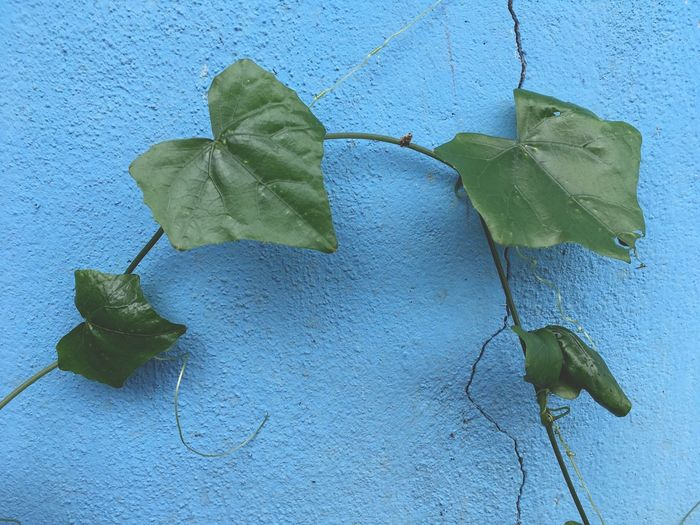 Coccinia grandis on blue cement wall Coccinia Grandis Creeper Ivy Gourd Ivy Leaves Wall Beauty In Nature Blue Cement Close-up Day Foliage Freshness Green Color Ivy Leaf Leaves Nature No People Outdoors Plant Vegetable Vine