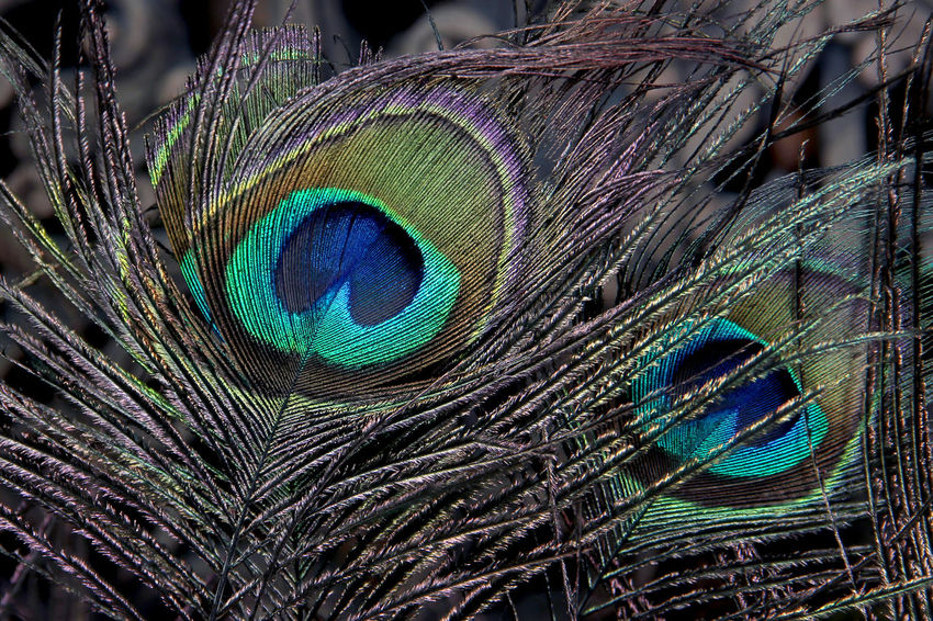 Beautiful peacock feathers in Thailand. Thai China Chinese New Year Good Luck Thrive Stable Abundant Abundance Relax Happiness Peacock Feather Peacock Feather  Close-up Fragility Animal Themes One Animal Full Frame Nature Animal Wildlife No People Bird Pattern Beauty In Nature Animals In The Wild Backgrounds Multi Colored Animal Markings Blue Fanned Out