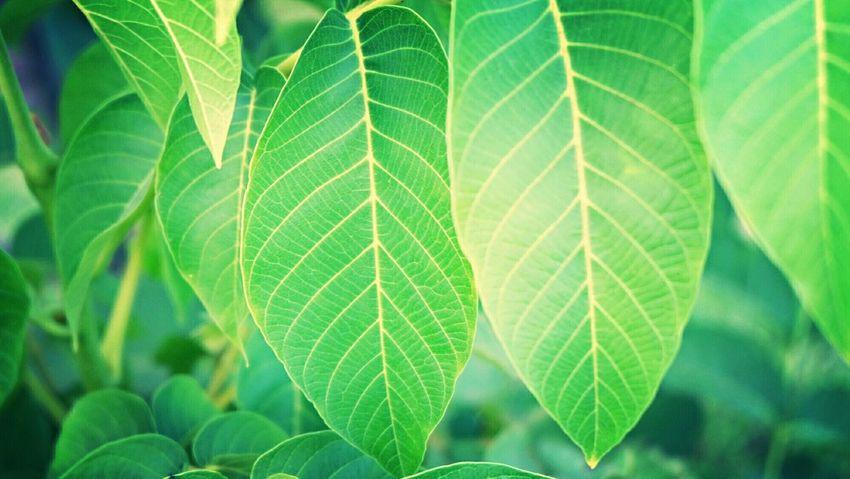 Light And Shadow Flowers,Plants & Garden Leaf 🍂 Green Leaf Eyemnaturelover Relaxing Eyem Best Shots Fuji X-M1