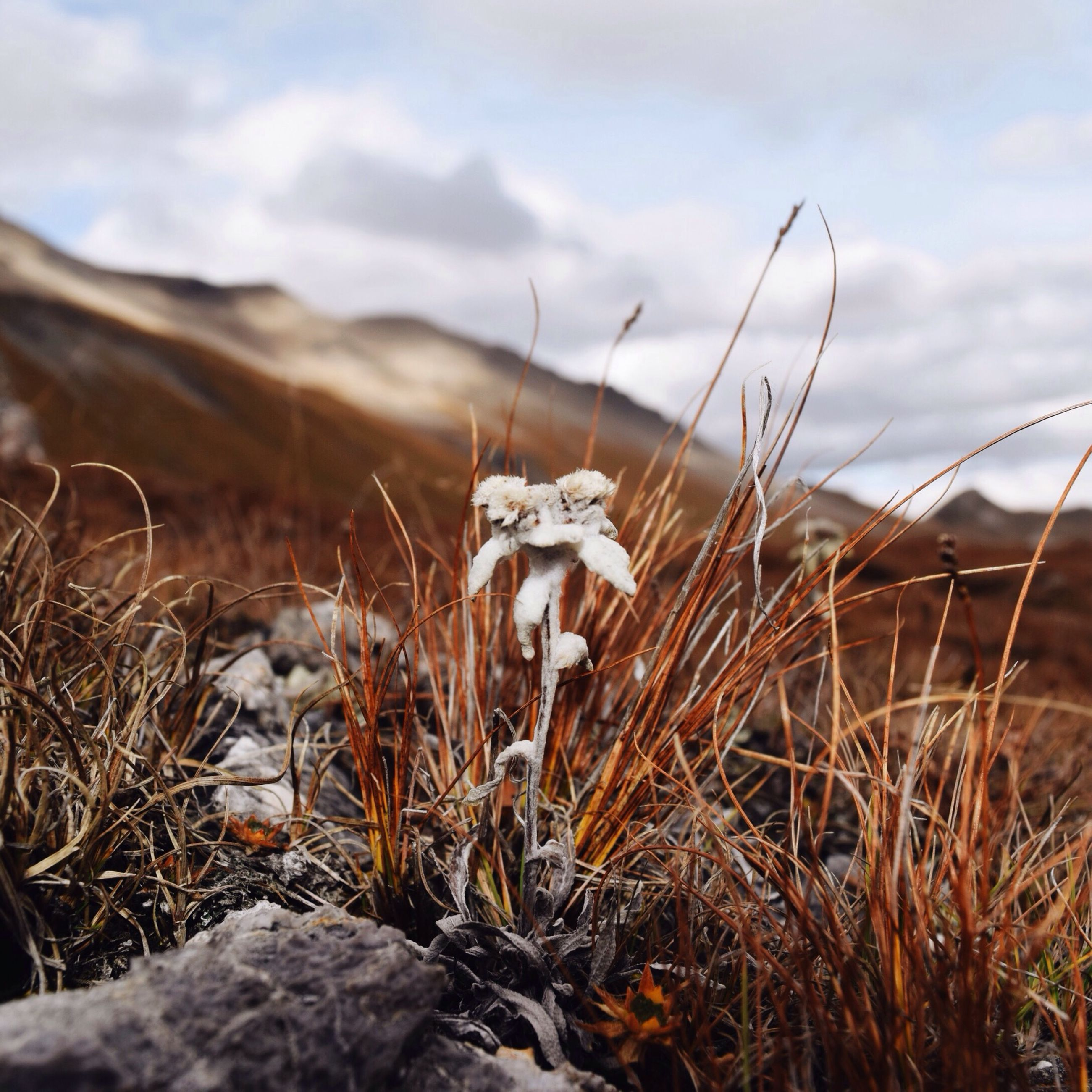 grass, field, dry, nature, sky, tranquility, plant, focus on foreground, close-up, landscape, growth, selective focus, dead plant, tranquil scene, day, beauty in nature, outdoors, no people, cloud - sky, non-urban scene