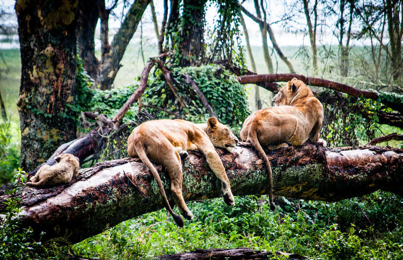Lions relaxing on tree trunk in forest