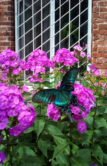 Black machaon Insect Butterfly One Animal Animal Themes Flower Window Papilio Maackii Architecture No People Day Flower Head Close-up Blooming Purple Maackii Black Machaon Machaon Black Butterfly Nature Beauty In Nature Outdoors Fragility Summer Papilio Machaon Plant