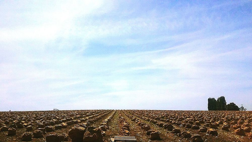 Onions Picked and bagged in the fields here locally. Royal Ciy, Wa. Taking Photos Farm Life Farming Onion Earth