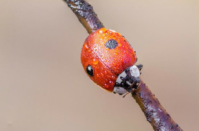 Cold and Wet Ladybird