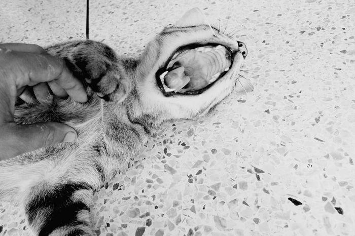 Animal Themes Human Body Part Human Hand Human Finger Domestic Animals Pets Outdoors Yawning Yawning Cat Yawn