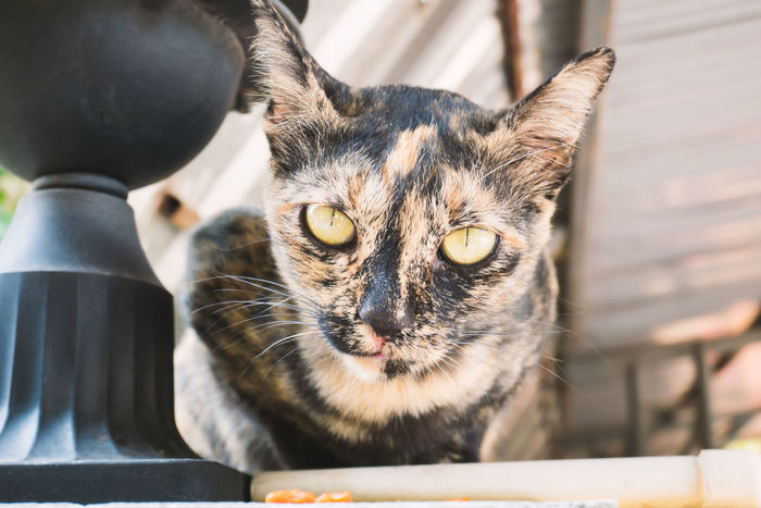 Animal Animal Themes Cat Close-up Cute Cats Cute Pets Day Domestic Animals Domestic Cat Eyes Feline Focus On Foreground Kitten Kitty Mammal No People One Animal Outdoors Pet Pets Portrait Thai Cat Whisker