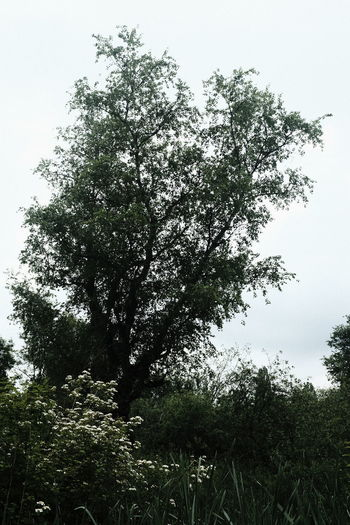 Low angle view of flowering trees against clear sky