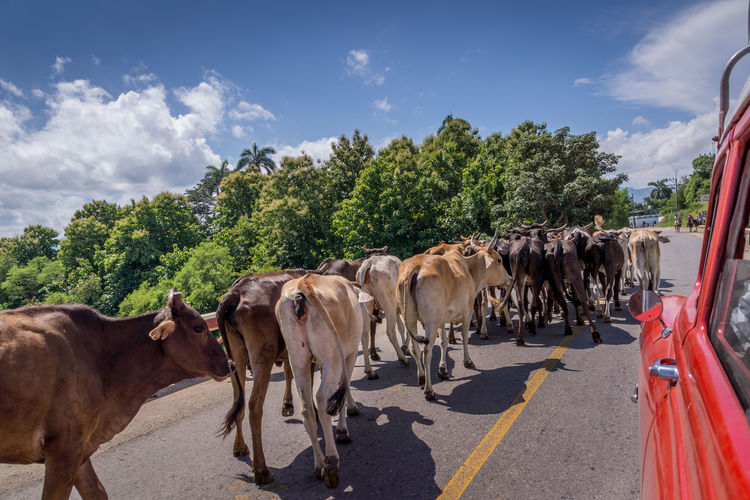 Animal Group Of Animals Road Sky Pets Tree Nature Cattle Animal Wildlife Street Outdoors Car Cuba Streetphotography Blocked Road Transportation Livestock Animal Themes Herd Domestic Animals Street Photography Road Oldcar