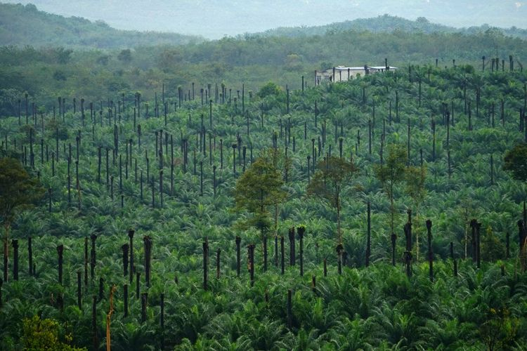 Palm Tree Palm Lanscape Photography Agriculture Palm Oil Industry Palm Oil Plantation