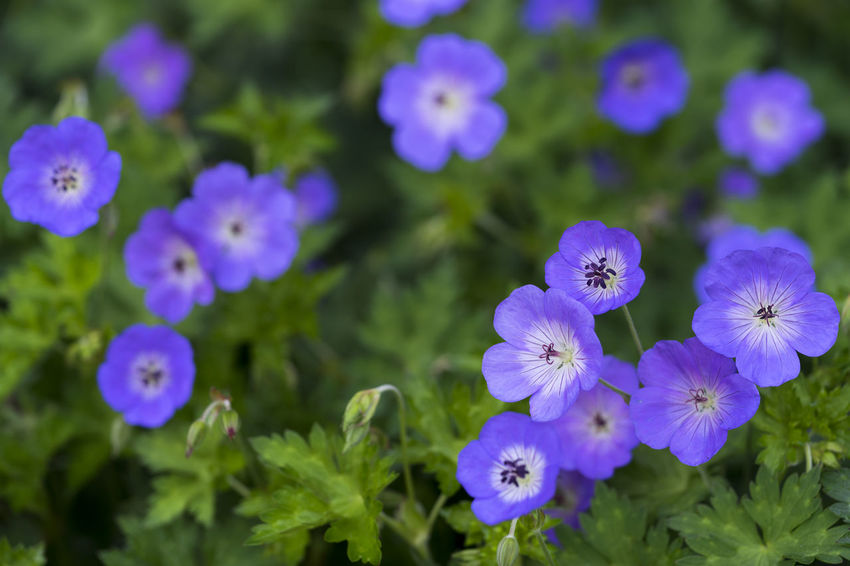 Blue flax (Linum) Green Color Natural Tranquility Beauty In Nature Blossoms  Blue Botany Close-up Flax Flower Flowering Plant Fragility Freshness Growth Inflorescence Linum Organic Outdoors Plant Purple Selective Focus Softness Spring Vulnerability  Wildflowers