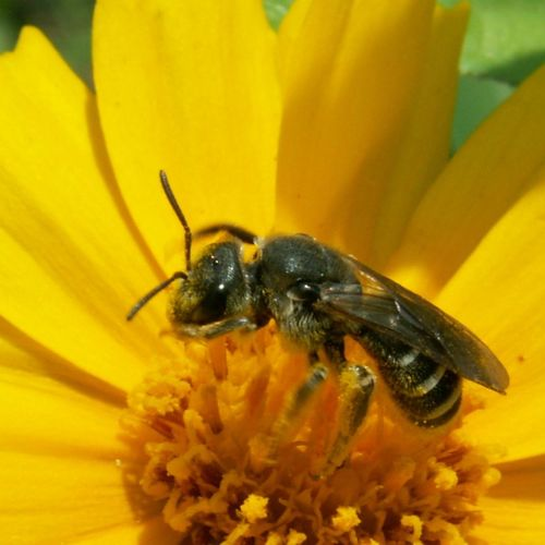 Bee Pollinators Nature Insect