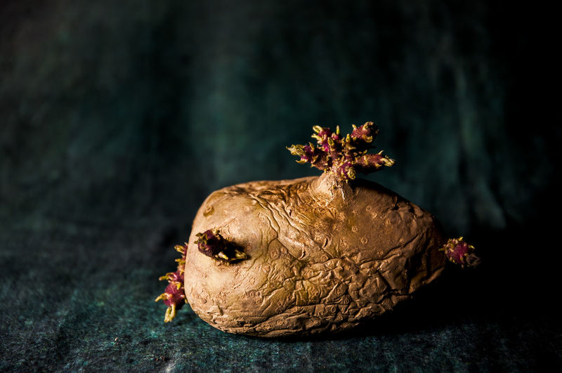 Potato Flower Head No People Close-up Plant Nature Focus On Foreground Flower Indoors  Food And Drink Flowering Plant Tree Studio Shot Beauty In Nature Food Still Life Fruit Black Background Freshness Bizarre Representation Wilted Plant