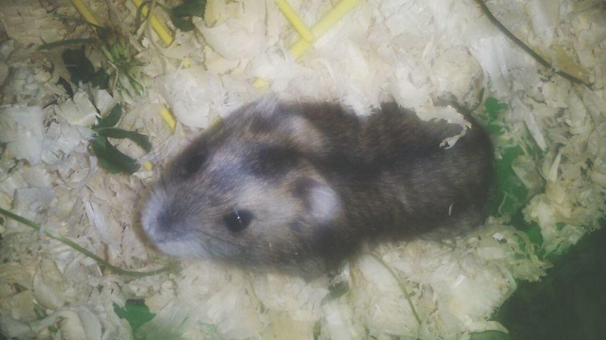 Hamster our little hamster Zenek ♥