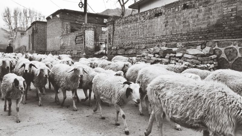 Shuhai Si Temple (殊海寺) revisited. 1. Ying County Shanxi Province Sheep Mud House Blackandwhite Streetphotography