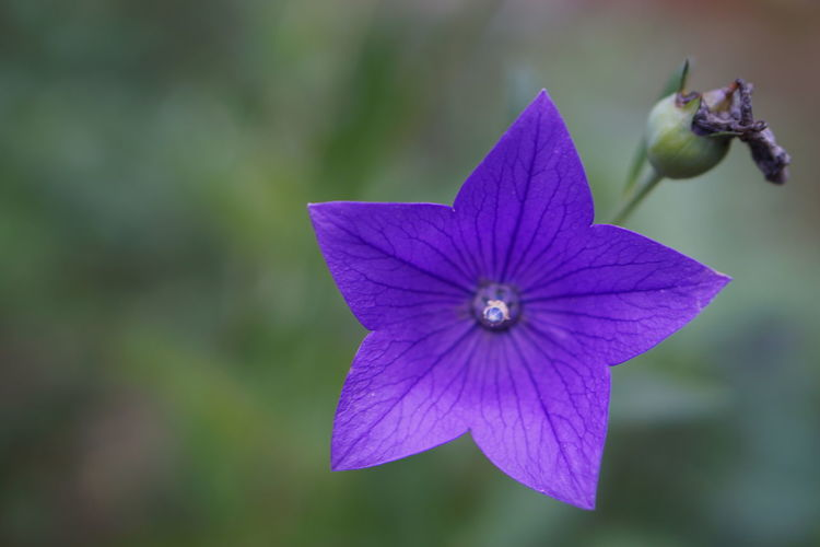EyeEm Nature Lovers Beauty In Nature Flower Purple Flowers_collection Star Shape Beautiful Nature Close-up Freshness