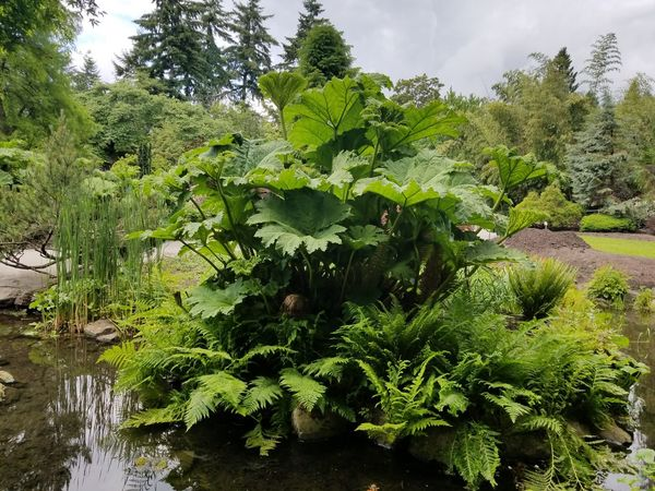 Queen Elizabeth Park giant leaves. Outdoors Vancouver Queen Elizabeth Park giant leaves Green Vegetation Leaf Nature Beauty In Nature Giant Leaf