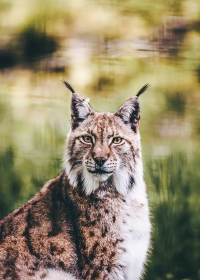 Close-up portrait of lynx