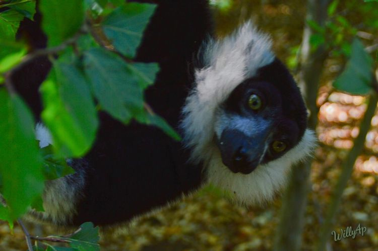 Lemur Lemure Zoology Animals In The Wild Naturelover Natur Pur Nature_collection Animal Eye Naturephotography Nature_perfection Nature Photography EyeEm Nature Lover Nature Lover Naturelovers EyeEm Best Shots - Nature Affenliebe Beauty In Nature Wildlife Affengeil Affenpark