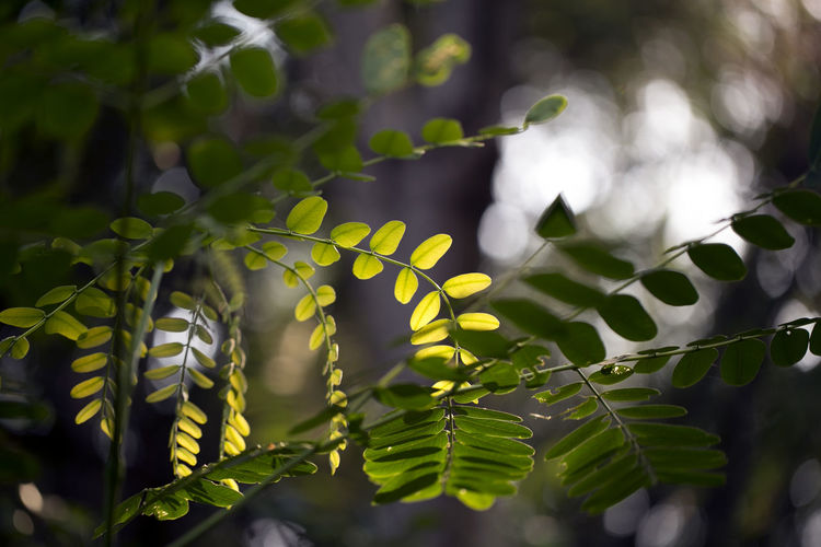 Leaf Plant Part Growth Plant Selective Focus Day Beauty In Nature Close-up Green Color Nature No People Tree Focus On Foreground Outdoors Branch Tranquility Sunlight Low Angle View Leaves Freshness