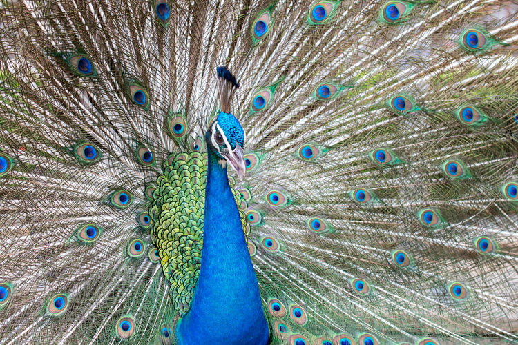 Peacock Bird Peacock Feather Feather  Animal Themes Animal Vertebrate Blue One Animal Fanned Out Animal Wildlife Animals In The Wild No People Male Animal Beauty In Nature Multi Colored Close-up Beauty Full Frame Animal Body Part Animal Head  Zoo Poultry