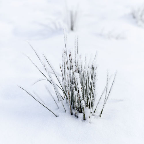 Winter Grass Patrik Wennerlund Beauty In Nature Cold Temperature Covering Day Field Frozen Land Nature No People Non-urban Scene Outdoors Plant Powder Snow Scenics - Nature Snow Tranquil Scene Tranquility Tree White Color Winter