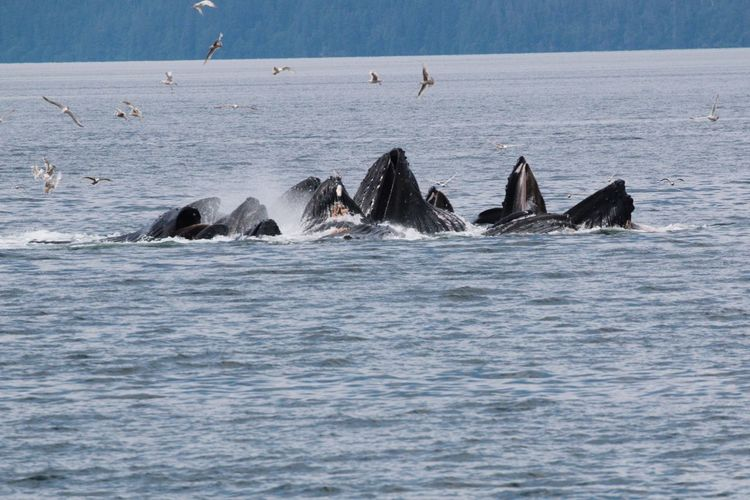 Humpback Whale Animals In The Wild Whale Nature Large Group Of Animals Beauty In Nature Animal Fin Cooperative Feeding Ritual Alaskan Nature Back from an amazing trip to Southeast Alaska- exploring Alaska's Coastal Wilderness Aquatic Mammal