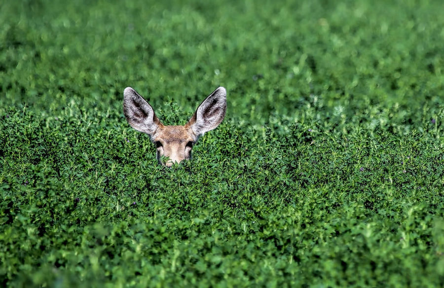 I can see you! Deer Peeking Out Alfalfa Field Animal Themes Animal Wildlife Animals In The Wild Beauty In Nature Day Deer Doe Grass Green Color Hiding In The Grass Looking At Camera Mammal Nature No People One Animal Outdoors Peeking Portrait