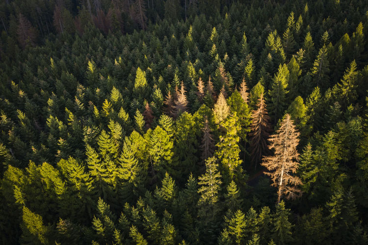 Beatiful sunset light over a pine view of a forest in sunset light. Aerial Shot Drone  EyeEmNewHere Romania Aerial Photography Aerial View Beauty In Nature Coniferous Tree Drone Photography Droneshot Evergreen Tree Forest Forest Photography Green Color High Angle View Landscape Nature No People Non-urban Scene Pine Tree Pine Woodland Plant Romaniamagica Sunset Tranquil Scene
