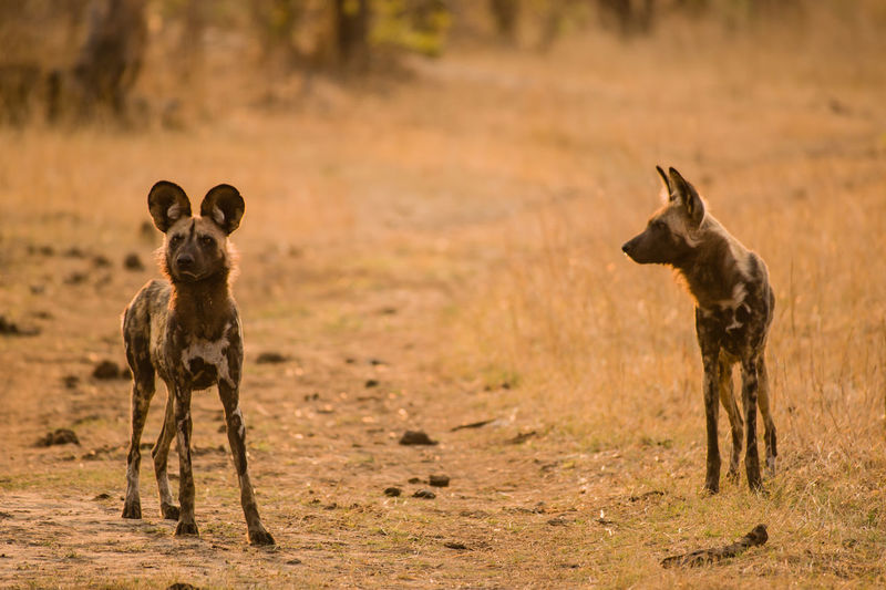Wild Dogs Standing On Field