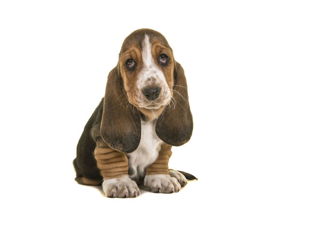 Adorable sad looking tricolor basset hound puppy sitting looking up isolated on a white background Adorable Puppy Animal Themes Basset Basset Hound Basset Hound Puppy Canine Cut Out Cute Puppy Dog Droopy Eyes Looking At Camera One Animal Pets Puppy Purebred Dog Sad Puppy Sitting Studio Shot White Background Young Animal