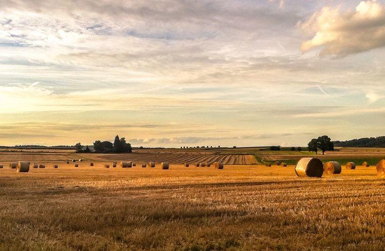 Field Late Summer