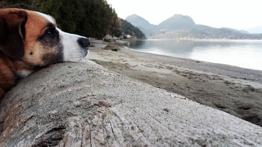 EyeEm Selects View Dogslife Enjoying Life Pondering Gaze Backgrounds Nature Domestic Animals Dog St Bernard Forward Tired Log Beach BC, Canada Pets Water Beach Dog Sand Sky Close-up Horizon Over Water Ocean Coast Sea Coastline Scenics Visual Creativity