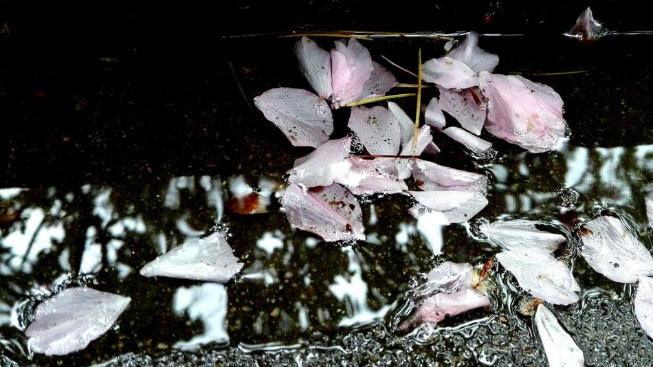 Sunday Rainy Cherry Blossom Petals🌸 Rainwater Dismal Cold Day Gloomyweather School Life  One Corner Of The Field Raindrops After Lunch Wuhan,China Wuhan Hzau