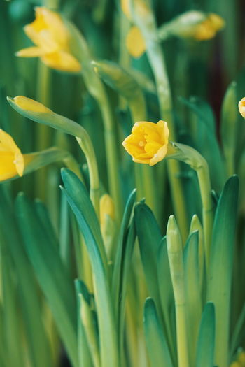 Close up of daffodils flowers