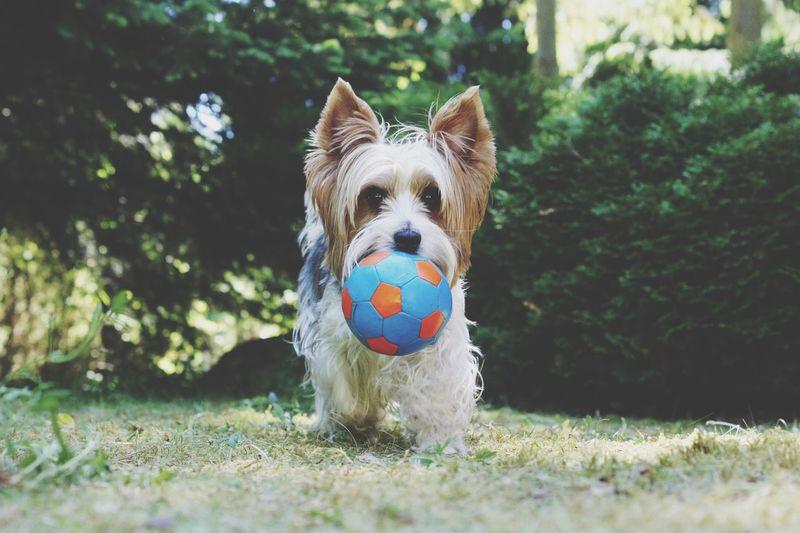 First Eyeem Photo Yogi Dog Animal Animals Doggie Picture Photo Biewer York Yorkshireterrier