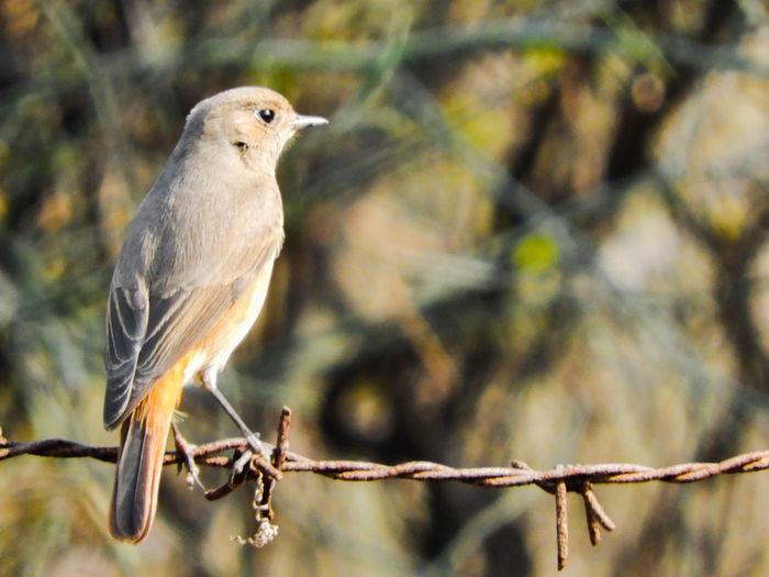 Bird Perching Portrait Branch Winter Living Organism Owl Looking At Camera Full Length Songbird