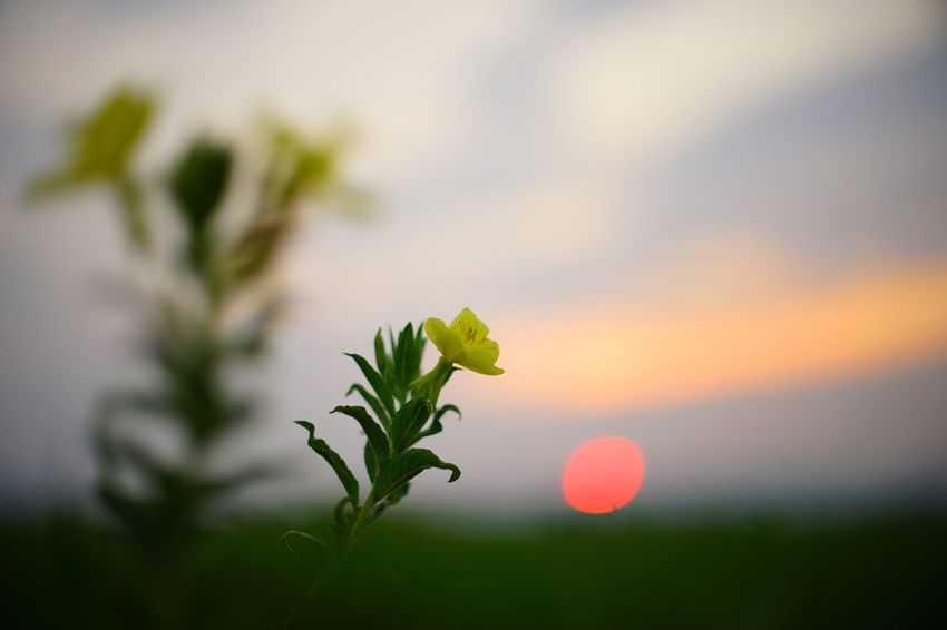 Capture The Moment Depth Of Field Beauty In Nature Sunrise_sunsets_aroundworld Rural Scene Growth Flower Fragility Bokeh Background Bokehlicious Landscape Nature From My Point Of View Fine Art Photography Selective Focus Uzuki Of The Flower Getting Inspired Full Frame Fullframe Detail SONY A7ii Oldlens Nikkor EyeEm Best Shots 17_09 EyeEmNewHere The Week On EyeEm