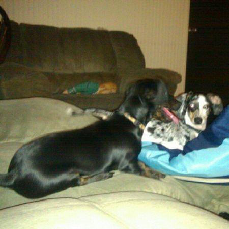 Our babies....Dachshund Dapple Weeniedog Peetie odie ilovemydog ifuckinglovemydog picoftheday instagram likemypics popularpage