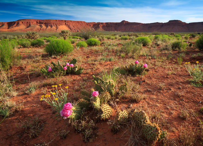 Desert Spring Utah Landscapes Cactus Paradise Prickly Pear Cactus Flowers Pink Flower Landscapes With WhiteWall Desert Beauty No People Canon 5d Mark Lll St George, Utah Amazing View Springtime Spring Flowers Spring Has Arrived