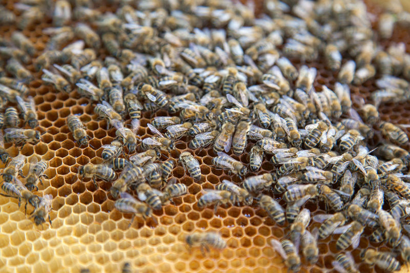Animal Animal Scale Animal Themes Animal Wildlife Animals In The Wild APIculture Beauty In Nature Bee Beehive Close-up Day Group Of Animals Honey Honey Bee Honeycomb Insect Invertebrate Large Group Of Animals Natural Pattern Nature No People