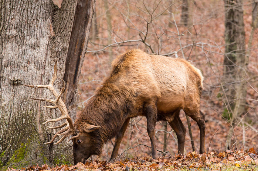 American Bison Animal Animal Themes Animal Wildlife Animals In The Wild Bison Brown Candid Close-up Day Deer Grazing Mammal Moose Nature Nature Nature Photography No People One Animal Outdoors Tree