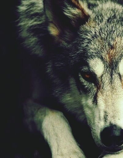 Wolf Wolfphotography