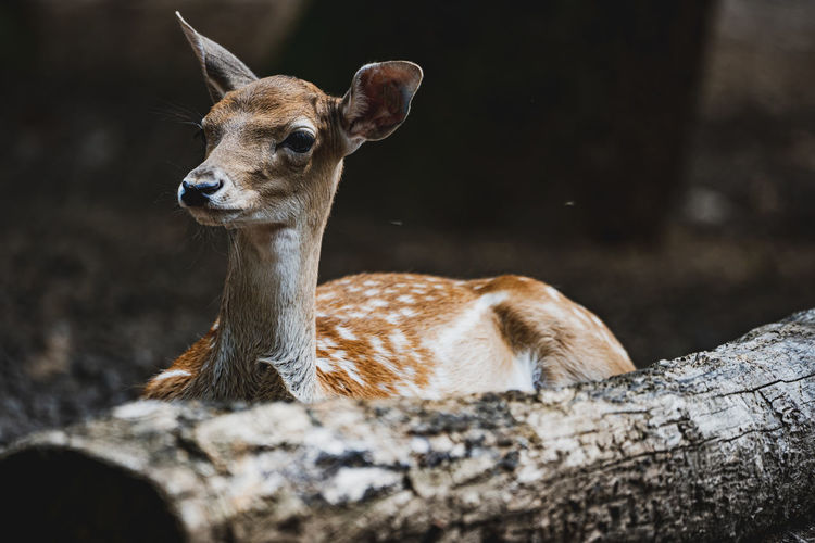 Close-up of deer on field
