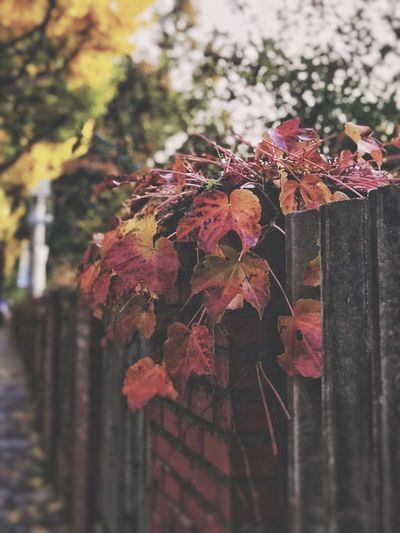 Autumn colors Autumn Leaves Autumn Maple Leaves Maple Leaf Maple Plant Nature Close-up Beauty In Nature Growth Fragility Day No People Vulnerability  Selective Focus Plant Part Outdoors Branch Tree Focus On Foreground Flowering Plant Leaf Autumn Flower Red