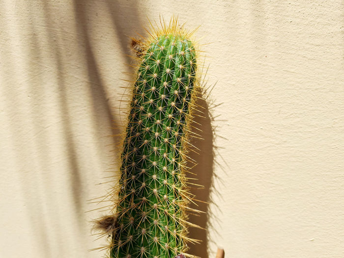 Close-up of cactus plant against wall