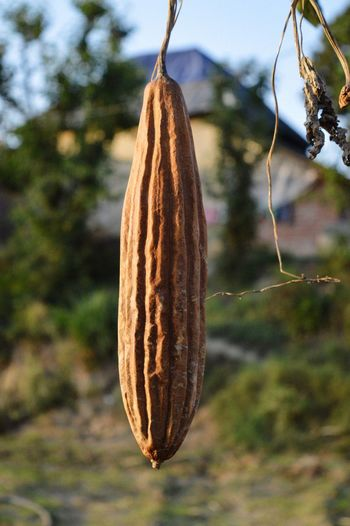 Close-up of dried hanging on tree